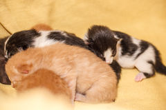 Sweet Cat family - just new born kittens with a mother cat. Red, black and white kittens. Sweet Cat family - just new born kittens with a mother cat on a yellow stock image