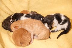 Sweet Cat family - just new born kittens with a mother cat. Red, black and white kittens. Sweet Cat family - just new born kittens with a mother cat on a yellow royalty free stock photo