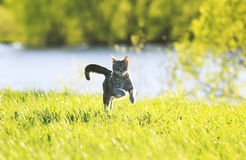 Sweet cat fun running on green meadow in Sunny summer day. Sweet tabby cat fun running on green meadow in Sunny summer day stock image