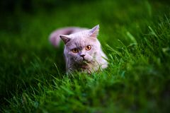 Sweet cat on green grass. Adorable animal background beautiful breed cute domestic feline fluffy funny fur garden gray grey happy  kitten kitty looking lying stock images