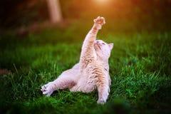 Sweet cat on green grass. Adorable animal background beautiful breed cute domestic feline fluffy funny fur garden gray grey happy  kitten kitty looking lying stock photo