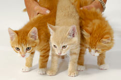 Sweet cat kittens Stock Photography