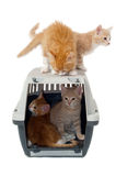 Sweet cat kittens in transport box. Very sweet cat kittens is ontop and inside of a transport box taken on a clean white background Stock Photography