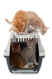 Sweet cat kittens in transport box Stock Image