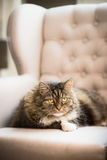 Sweet cat lies on ears armchair at home  and looks into the camera Stock Photos