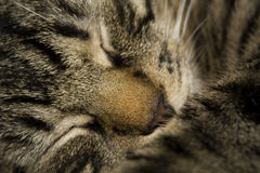 Sweet cat sleeping Royalty Free Stock Photo