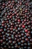 Sweet cherries background. Background of sweet and fresh organic dark cherries Stock Photography
