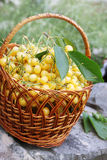 Sweet cherries in a  basket Royalty Free Stock Photos