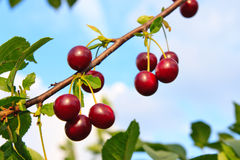 Sweet cherries on a branch Royalty Free Stock Photography