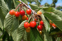 Sweet cherries. Hanging on the cherry tree branch Royalty Free Stock Photos