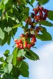Sweet cherries hanging Stock Image