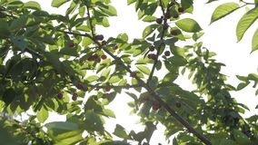 Sweet cherries hanging on a cherry tree branch.  stock video footage