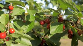 Sweet cherries hanging on a cherry tree branch.  stock footage