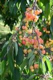 Sweet cherries hanging on tree branch Stock Photos