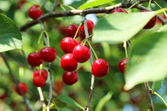 Sweet cherries Royalty Free Stock Photography