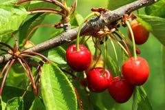 Sweet cherries Stock Images