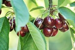 Sweet cherries (prunus avium) Royalty Free Stock Image