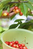 Sweet cherries in season Stock Photos