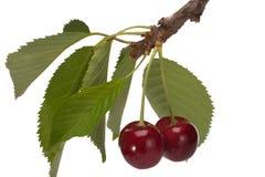 Sweet cherry Stock Images