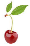 Sweet cherry berry with leaves Royalty Free Stock Images