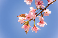 Sweet Cherry blossom Stock Images