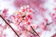 Sweet Cherry blossom Stock Photos