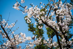 Sweet cherry blossom blooming Stock Images