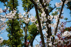 The sweet cherry blossom blooming in sunshine day Stock Photography