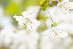 Sweet Cherry blossoms Royalty Free Stock Photos