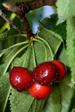 Sweet cherry branch Stock Images