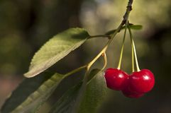 Sweet cherry branch Stock Photos