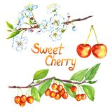 Sweet cherry branch with flowers and fruits. Sweet cherry branches with flowers and fruits, hand painted watercolor illustration isolated on white royalty free illustration