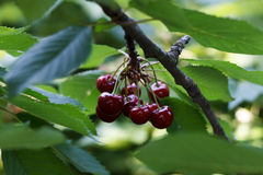 Sweet cherry on a branch Royalty Free Stock Photo