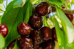 Sweet cherry on a branch. Cottage, garden royalty free stock photo