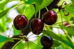 Sweet cherry on a branch. Cottage, garden royalty free stock photography