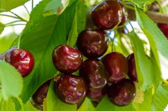 Sweet cherry on a branch. Greens, cottage, nature royalty free stock photos