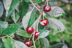 Sweet cherry on a bush. Ripe cherry. ripe sweet cherry. It is a lot of red berry Stock Photography