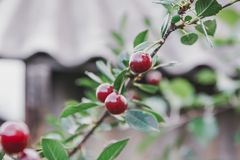 Sweet cherry on a bush. Ripe cherry. ripe sweet cherry. It is a lot of red berry Royalty Free Stock Images