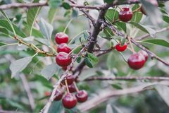 Sweet cherry on a bush. Ripe cherry. ripe sweet cherry. It is a lot of red berry Royalty Free Stock Photos