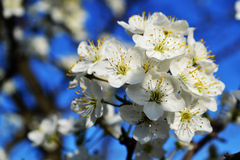 Sweet cherry flowers Royalty Free Stock Photography