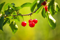 Sweet Cherry Fruit on The Bracnh Stock Photography