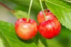 Sweet Cherry. On the garden Royalty Free Stock Photos