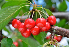 Free Sweet Cherry On The Branch Stock Image - 26064781