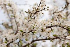 Sweet cherry (Prunus avium) Stock Photo