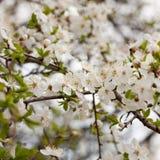 Sweet cherry (Prunus avium) Royalty Free Stock Image