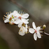 Sweet cherry (Prunus avium) Royalty Free Stock Images