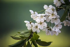 Sweet cherry tree blossoms Royalty Free Stock Photography
