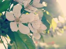 Sweet Cherry Tree Flowering Stock Photos