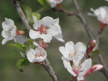 Sweet cherry tree. White sweet cherry flowers with green leaves Stock Photos