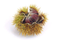 Sweet chestnut 03 Royalty Free Stock Images